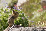 Golden-mantled Ground Squirrel Feeding Posters by Bob Gibbons
