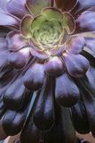 Aeonium Arboreum Photographic Print by Maxine Adcock