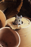 Woodmouse Peeering Out of a Flowerpot Photographic Print by David Aubrey