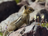 Golden-mantled Ground Squirrel on a Rock Photographic Print by Bob Gibbons