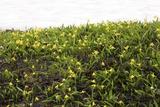 Glacier Lilies (Erythronium Grandiflorum) Photographic Print by Bob Gibbons