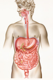Digestive System Posters by John Bavosi