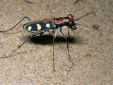 Tiger Beetle Photographic Print by Dr. George Beccaloni