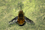 Bee Fly Photographic Print by Dr. George Beccaloni