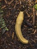 Pacific Banana Slug Photographic Print by Bob Gibbons