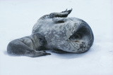Weddell Seal Mother with Pup Poster by Doug Allan