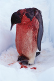 Injured Emperor Penguin Posters by Doug Allan
