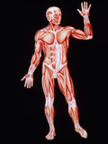 Artwork Showing Human Skeletal Muscles, Front View Photographic Print by John Bavosi