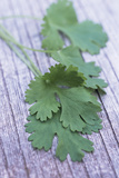 Coriander Leaves Prints by Maxine Adcock