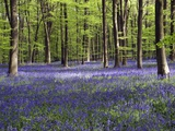 Bluebells In Woodland Print by Adrian Bicker