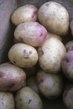 Potatoes (Solanum 'King Edward') Photographic Print by Maxine Adcock