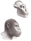 Australopithecus Garhi Skull And Face Photographic Print by Mauricio Anton
