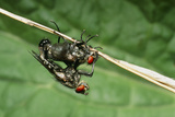 Flies Mating Photographic Print by Dr. George Beccaloni