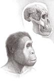 Homo Rudolfensis Posters by Mauricio Anton