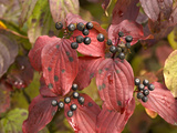 Dogwood (Cornus Sanguinea) Photographic Print by Bob Gibbons