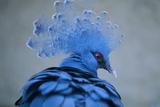 Victoria Crowned Pigeon Prints by David Aubrey