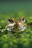 Leopard Frog Photo by David Aubrey