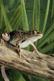 Leopard Frog Prints by David Aubrey