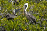 Galapagos Brown Pelican Prints by Bob Gibbons