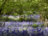 Bluebells In Woodland Prints by Adrian Bicker