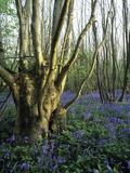 Bluebells (Hyacinthoides Non-sripta) Photographic Print by Bob Gibbons