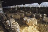 Ewes Prints by David Aubrey