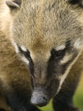 Coati Posters by Adrian Bicker