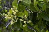 White Mangrove (Laguncularia Racemosa) Prints by Bob Gibbons