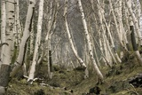 Mount Etna Birches (Betula Aetnensis) Prints by Bob Gibbons