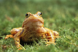 European Common Frog Photo by David Aubrey