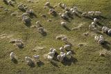 Sheep Prints by David Aubrey