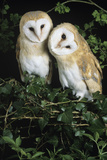 Barn Owls Posters by David Aubrey