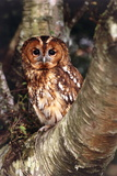 Tawny Owl Photographic Print by David Aubrey