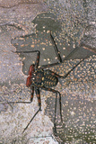 Tailless Whip Scorpion Posters by Dr. George Beccaloni