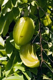 Star Fruit (Averrhoa Carambola) Photographic Print by Bob Gibbons