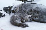 Weddell Seal Mother with Pup Reprodukcja zdjęcia autor Doug Allan
