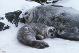 Weddell Seal Mother with Pup Photographic Print by Doug Allan