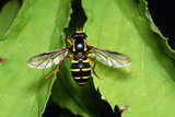 Hoverfly Photographic Print by Dr. George Beccaloni