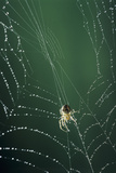 Spider Spinning Its Web Print by David Aubrey