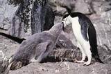 Chinstrap Penguin Feeding Chick Prints by Doug Allan