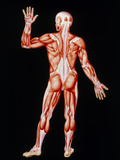 Human Skeletal Muscles, Artwork Prints by John Bavosi