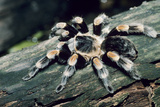 Mexican Redknee Tarantula Photographic Print by David Aubrey