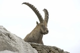Male Alpine Ibex Photographic Print by Dr. Juerg Alean