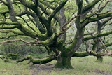 Ancient Oak Tree (Quercus Sp.) Photographic Print by Adrian Bicker