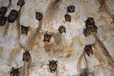 Intermediate Roundleaf Bats Photographic Print by Dr. George Beccaloni