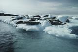 Crabeater Seals Reprodukcja zdjęcia autor Doug Allan