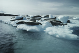 Crabeater Seals Photographic Print by Doug Allan