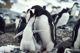 Gentoo Penguin Feeding Chick Posters by Doug Allan