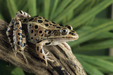 Leopard Frog Posters by David Aubrey