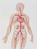 Artwork of Human Arterial System Posters by John Bavosi
